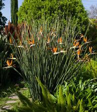 Strelitzia Juncea 3 Seeds, Crane Flower Bird Of Paradise Evergreen Perennial