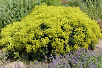 > Ein attraktiver Blumenschmuck in jedem Blumengebinde: der Frauenmantel !