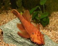 Red Bristlenose Pleco Florida live freshwater aquarium fish 1.5inche algae eater