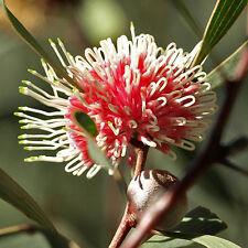 Hakea laurina Pincushion Hakea advanced native plant in 75mm pot