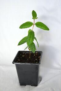 Psidium Guajava Guava plant tree tropical exotic future indoor Bonsai fruit tree