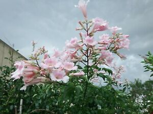 Podranea ricasoliana,3x rootless cuttings!