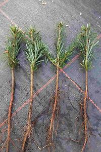 Nordmanntannen 2j. 25st. Weihnachtsbaum Nordmanntanne 15-30cm Wurzelware