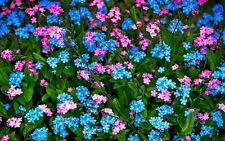 BLUE AND ROSE FORGET-ME-NOT MIXED FLOWER SEEDS / Rare / Exotic / Aussie Seller