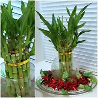 "8"" Lucky Bamboo 6 Healthy Plants, Gift, Feng Shui, Water or Soil, Free Shipping"