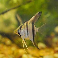 Silver with light Koi Highlights Angelfish 4+
