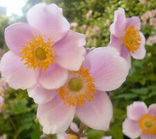 Anenome Japonica – Pink Windflower, HP