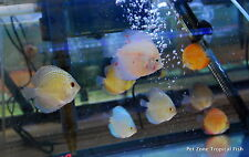 (2) Discus - Assorted, Small - Freshwater Tropical Fish - Assorted Discus Fish