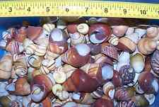 20 - ASSORTED LAND SNAIL SHELLS HERMIT CRAB WITH MOISTURE SPONGE CRAFTS WOW!