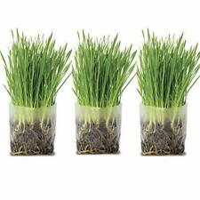 TotalGreen Holland Amazing Cat Grass Grow Kit