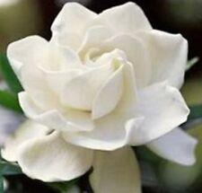 TRUE LOVE GARDENIA fragrant large white double flowers plant in 140mm pot