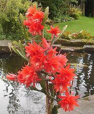 EPIPHYLLUM ACKERMANII (VERY FLORIFEROUS) ROOTED PLANT