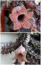 Stapelianthus Decaryi orbea stapelia huernia