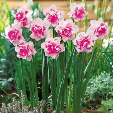 Mixed 400 Narcissus Duo Bulbs Daffodil Plant Flower Seeds Scented Pastel Double