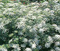 BISHOP'S FLOWER Ammi Majus Seeds - 10,000 Bulk Seeds