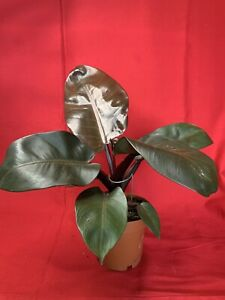 Philodendron Black Cardinale