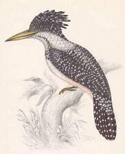 SPOTTED WOOD KINGFISHER Philippines ~ John Gould Tropical Bird Watcher Art Print
