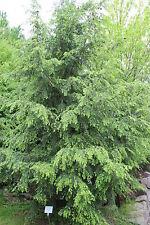 Tsuga canadensis EASTERN HEMLOCK Tree Seeds!