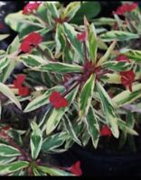 Variegated Crown of Thorns (Euphorbia milii), Single Cutting of 4 - 6""