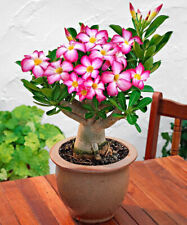 Desert Rose Seeds (Adenium obesum) - Mixed Colors - Singles & Double Blooms - US