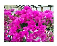 "Royal Purple Bougainvillea Live Plant Indoors, Out or Bonsai 4"" Pot Easy to grow"