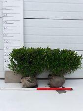 2x Buchsbaum Fertighecke 40*40*20cm, fur 0,8 Meter Hecke! Sehr günstig!
