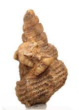 Chalcedony Sea Shell Snail RARE Fossil CLUSTER Turritella Specimen Gastropod BIG