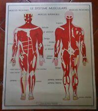 Affiche scolaire ROSSIGNOL N°15 le système musculaire   N°16 le système nerveux