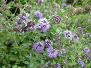 MENTHA HERBS PENNYROYAL LEAFS - 500 seeds Mentha Pulegium, (Mieta Polej).