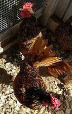RARE Organic Golden Sebright Bantam Chicken Hatching Eggs (12)