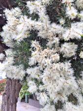 Melaleuca liniarifolia in 50mm forestry tube native screen hedge windbreak
