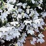 Lobelia Seeds 50 Multi Pelleted Seeds Regatta White Trailing Lobelia