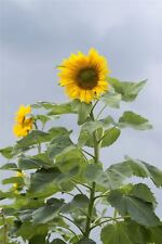 Flower - Sunflower Mongolian Giant - 25 Seeds - Upto 12 Feet Tall