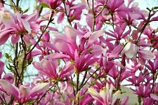 "Ann Star Fragrant Magnolia Tree - 4"" pot - Outdoor or Bonsai House plant Growing"