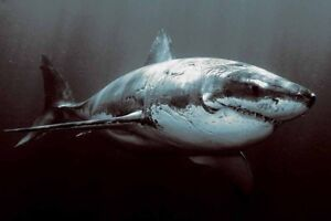 Home Artwork Wall Decor Shark Great White Shark Oil Painting Printed on canvas
