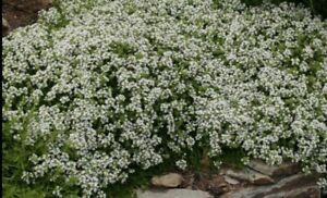 Thymus serpyllum plant X3 In 11cm Pot. Hardy ground cover White creeping thyme