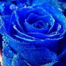 20 Seeds Rare blue rose seeds plant & seedlings Garden Plant