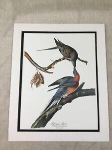 1964 Print Passenger Pigeon Bird Audubon's Book of Birds of America LARGE RARE