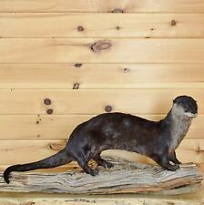 Otter Life-size Taxidermy Mount - SW3277