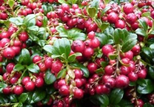 VACCINIUM VITIS IDAEA 'RED CANDY' - LINGONBERRY - PLANT - APPROX 5-7 INCH
