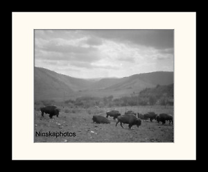 American Bison at Yellowstone Park 1920s Framed Vintage Photo Reprint 6215