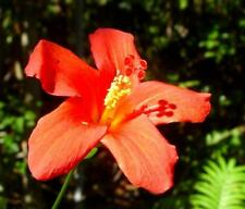 RARE 3 graines d' HIBISCUS DES MASCAREIGNES (Hibiscus boryanus )K58 SEEDS SAMEN