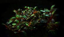 Bucephalandra 'lamandau Púrpura' - raro planta acuática