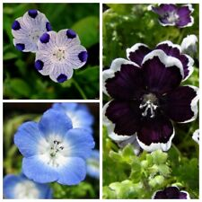 Seeds Nemophila White Blue Flower Beautiful Balcony Annual Garden Cut Organic