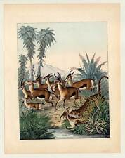 Gazellen-Leopard-Jagd-Tiere - altkolorierte Lithographie 1857