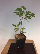 """Zelkova Serrata, Japanese Grey Bark Elm Pre Bonsai Seedling Stock. 2 1/4"""" Potted"""