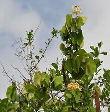 🧗 5 GRAINES DE MALU CREEPER (Bauhinia vahlii) SEEDS SAMEN SEMILLAS