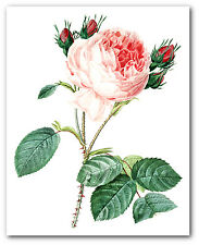 Pink Rose Print, Botanical Flower Illustration, 8 x 10 Inches, Unframed