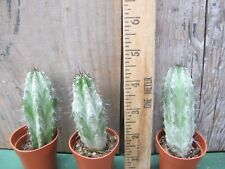 Polaskia chichipe - Gorgeous Blue cactus! Cute!
