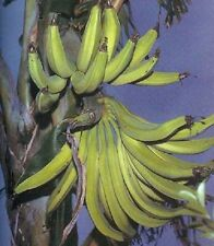 Musa African Rhino Horn Plantain live Banana plant fruit tree